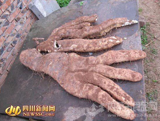 """四川大爷种出29斤奇特蔬菜:长4根""""大手指"""""""